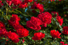Close Up Red Roses With Buds O...