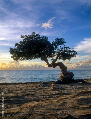 Photo  Beautiful Divi Divi Tree on the island of Aruba