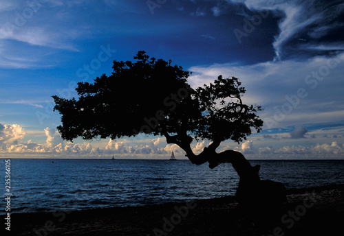 Платно Beautiful Divi Divi Tree on the island of Aruba