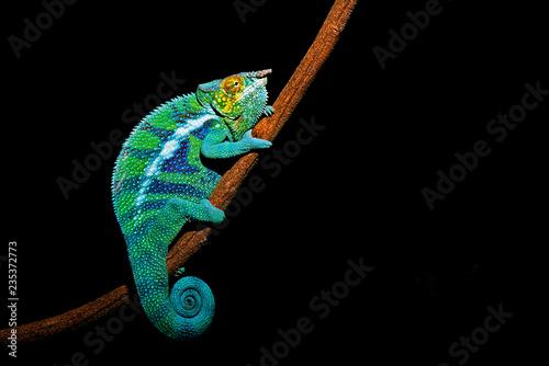 Staande foto Kameleon パンサーカメレオン