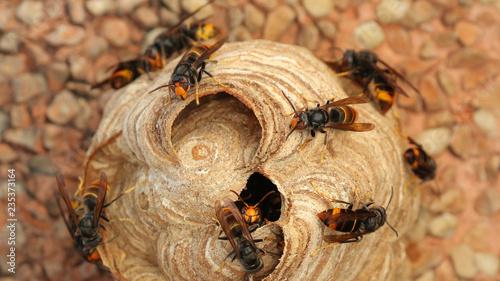 Fotografía Nido de Vespa Velutina o avispa asiática en Cantabria, España