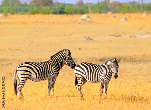 Two Burchell Zebra standing on the dry yellpw grass plains in Hwange National Park, Zimbabwe
