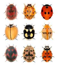 Ladybugs (ladybird Beetles) Isolated On A White Background