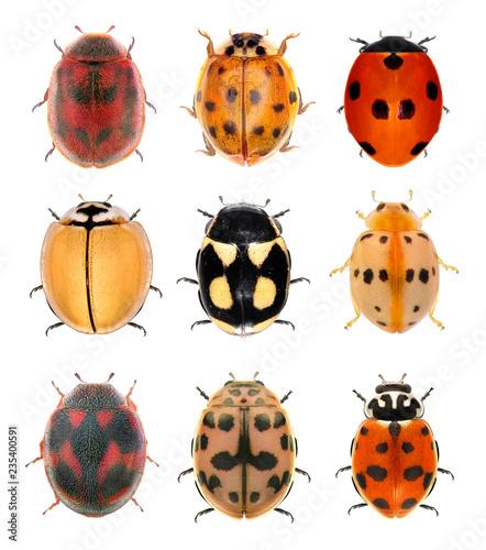 Fotografía Ladybugs (ladybird beetles) isolated on a white background