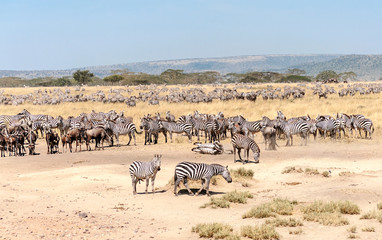 Fototapeta na wymiar Zebras and wildebeest crossing the Serengeti in