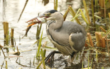 A Grey Heron (Ardea Cinerea) With A Pike In Its Beak Which It Has Just Caught And Is About To Eat.