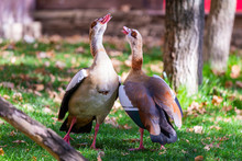 Two Egyptian Geese Or Alopochen Aegyptiacus In Nature