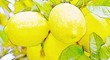 canvas print picture - Close up of big Lemons on a Lemon tree