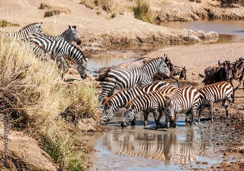 Tuinposter Zebra Zebras and wildebeest crossing the Serengeti in