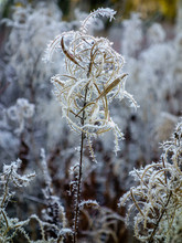 Frosty Willowherb.