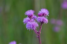 Pompom Weed Flower