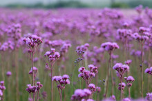 Invasive Pompom Weed Flowers In Field