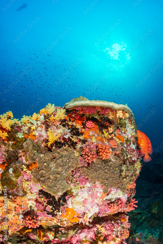 Brightly colored hard and soft corals on a tropical coral reef at Koh Bon island, Thailand
