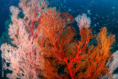 Obraz na plátne Beautiful, colorful tropical coral reef at the Surin Islands (Richelieu Rock)