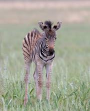 Baby Zebra In The Wild