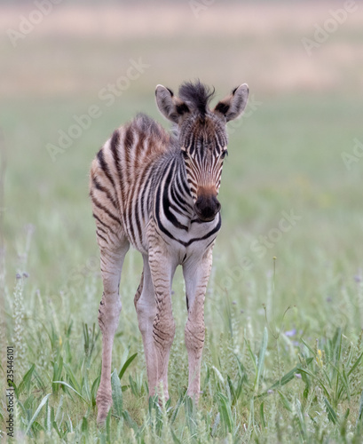 Baby zebra in the wild