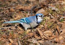 Blue Jay (Cyanocitta Cristata)...