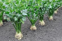 Close-up Of Celery Plantation ...