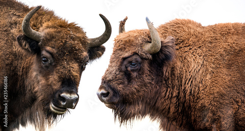 Montage in der Fensternische Bison Bison bonasus - European bison - isolated on white