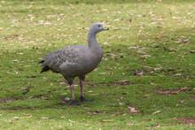 Cape Barren Goose In Eastern Tasmania