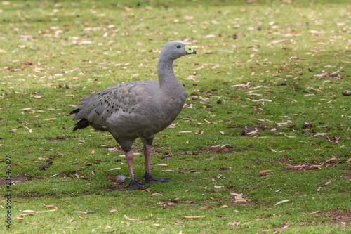 Tablou Canvas cape barren goose in Eastern Tasmania