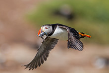 Atlantic Puffin Flying With Hi...