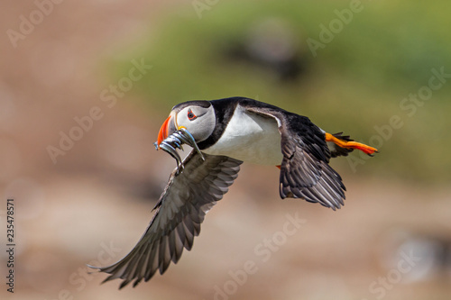 Stampa su Tela Atlantic puffin flying with his beak full of sandeel  - Farne Islands - England