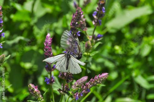 Photo Aporia crataegi, Black Veined White butterfly in wild