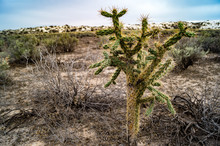 Walking Stick Cane Cholla Cactus Growing In White Sands National Monument In New Mexico, USA
