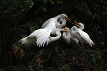 Great Egret (Ardea Alba) Feedng Its Chicks On Their Nest In Florida.
