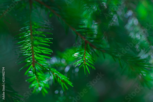 background of coniferous evergreen spruce forests
