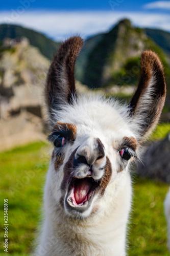 Fotografia alpaca llama lama in Machu Picchu Perú smiling