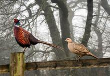 Male And Female Pheasants
