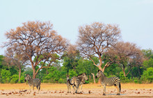 A Small Herd Of Burchells Zebra Standing On The Dry Arid African Savannah With A Natural Bushveld Background In Hwange National Park, Zimbabwe