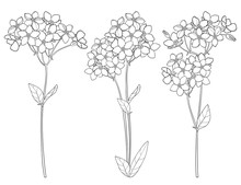 Vector Set With Outline Forget Me Not Or Myosotis Flower Bunch, Bud And Leaf In Black Isolated On White Background. Wildflower Forget Me Not In Contour Style For Spring Design Or Coloring Book.