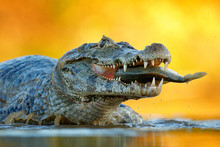 Yacare Caiman, Crocodile With Fish In With Open Muzzle With Big Teeth, Pantanal, Brazil. Detail Portrait Of Danger Reptile. Caiman With Piranha. Crocodile Catch Fish In River Water, Evening Light.