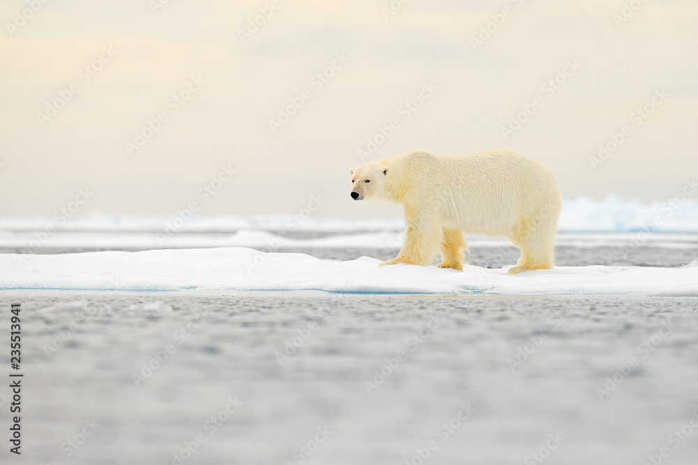 Polar bear on drift ice edge with snow and water in Norway sea. White animal in the nature habitat, Europe. Wildlife scene from nature. Dangerous bear walking on the ice, beautiful evening sky.