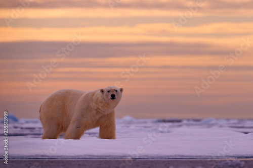 Polar bear sunset in the Arctic. Bear on the drifting ice with snow, with evening orange sun, Svalbard, Norway. Beautiful red sky with danger animal, face walking. Wildlife scene from nature.