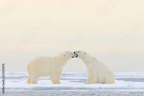 Two Polar bears relaxed on drifting ice with snow, white animals in the nature habitat, Svalbard, Norway. Two animals playing in snow, Arctic wildlife. Funny image from nature.