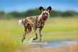 canvas print picture - Wildlife from Zambia, Mana Pools. African wild dog, walking in the water on the road. Hunting painted dog with big ears, beautiful wild animal. Safari in Africa. Wild dog face portrait.