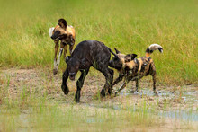 Wild Dog Hunting In Botswana, Buffalo Calf With Predator. Wildlife Scene From Africa, Moremi, Okavango Delta. Animal Behaviour, Pack Pride Of African Wild Dogs Offensive Attack On Calf.