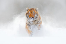 Tiger Running In The Snow, Wil...