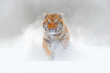Tiger running in the snow, wild winter nature. Siberian Amur tiger, Panthera tigris altaica, wildlife scene with dangerous animal. Cold winter in taiga, Russia. White Snowflakes with wild cat.