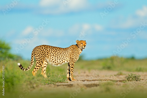 Cheetah in grass, blue sky with clouds. Spotted wild cat in nature habitat. Cheetah, Acinonyx jubatus, walking wild cat. Fastest mammal on the land, Botswana, Africa. African nature, wet season.