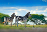 Fototapeta Sawanna - Two zebras in wild Africa. Zebra with blue storm sky. Burchell's zebra, Equus quagga burchellii, Nxai Pan National Park, Botswana, Africa. Wild animal on the green meadow. Wildlife nature.