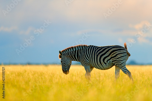 Tuinposter Zebra Wild animal on the green meadow during sunset. Wildlife nature, beautiful evening light. Zebra with blue storm sky. Burchell's zebra, Equus quagga burchellii, Nxai Pan National Park, Botswana, Africa.