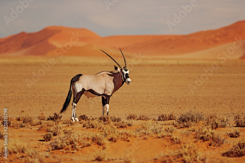 Gemsbok with oraqnge sand dune evening sunset. Gemsbuck, Oryx gazella, large antelope in nature habitat, Sossusvlei, Namibia. Wild animals in the savannah. Animal with big straight antler horn.