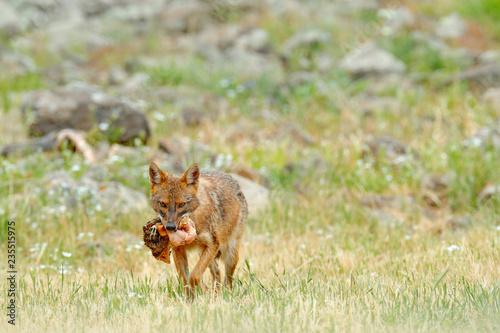 Fényképezés Golden jackal, Canis aureus, feeding scene on meadow, Madzharovo, Eastern Rhodopes, Bulgaria