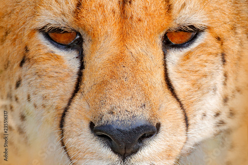 Cheetah face, Acinonyx jubatus, detail close-up portrait of wild cat. Fastest mammal on the land, Nxai Pan National Park, Botswana. Wildlife scene from African nature. Beautiful fur coat animala