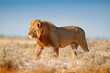 canvas print picture - Big lion with mane in Etosha, Namibia. African lion walking in the grass, with beautiful evening light. Wildlife scene from nature. Aninal in the habitat.